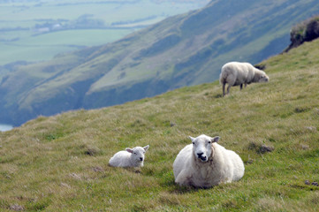 Lamb with adult sheep at LLangrannog in Cardigan, Wales