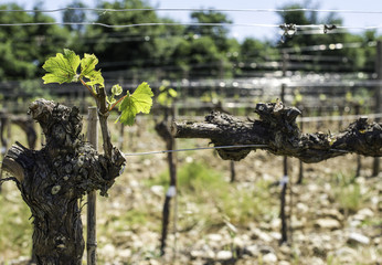 Budding vineyards