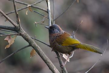 ブータンの鳥 ズアカガビチョウ