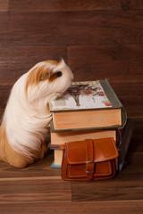 cochon d'inde et livres d'école