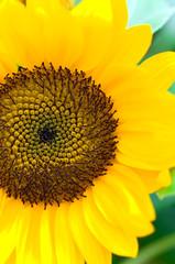 ヒマワリ 向日葵 ひまわり