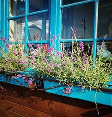 lavender in window