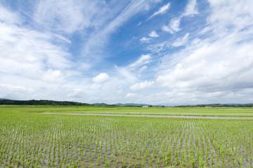 風になびく田の稲と空