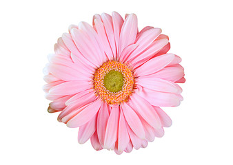pink gerbera flower on a white background