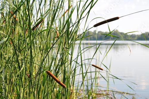 reeds - 68310963