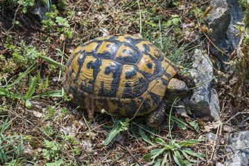 Greek tortoise - close-up