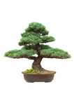 japanese bonsai tree isolated pinus parviflora
