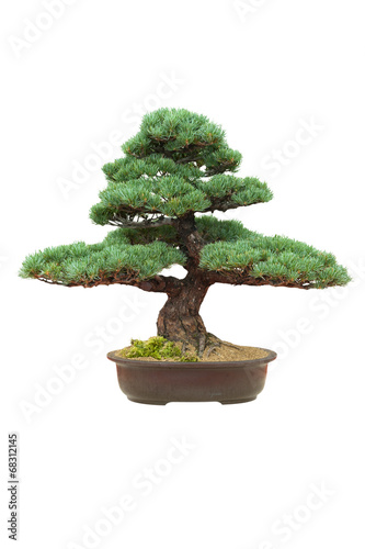 Aluminium Bonsai japanese bonsai tree isolated pinus parviflora