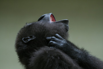 kleiner Affe kratzt sich am Hals