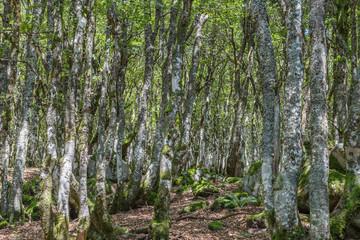 forêt d'altitude