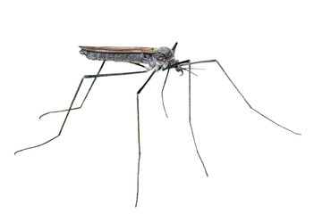 Insect daddy-long-legs 8
