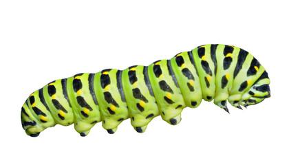 Сaterpillar of swallowtail 7