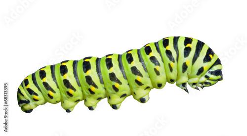 Staande foto Vlinder Сaterpillar of swallowtail 7