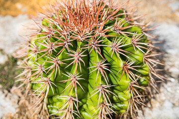 Green Barrel Cactus on a Wall