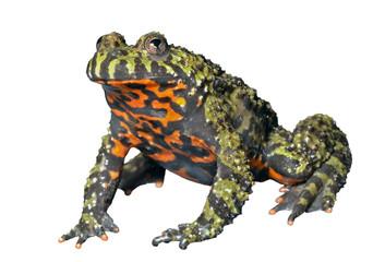 Frog (Bombina orientalis) 8