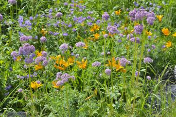 Medicinal herb valerian 4