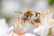 Obrazy na płótnie, fototapety, zdjęcia, fotoobrazy drukowane : Biene auf Blüte im Sommer