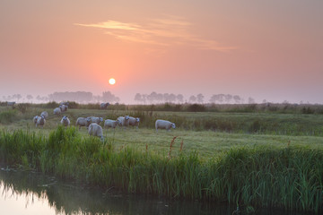 sheep on misty pasture by river at sunrise