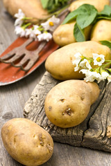 autumn harvest potatoes on wooden background (rustic style)