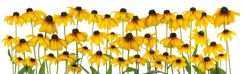 Yellow coneflower isolated line