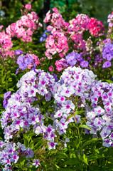 blooming phlox in the garden