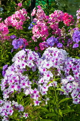 blooming phlox in the garden