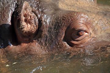Closeup view of a hippopotamus in water