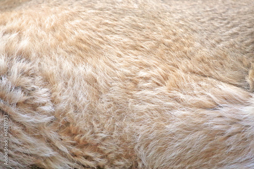 Foto op Canvas Leeuw Background of lion fur