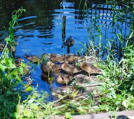 grown chicks duck on wooden bridge