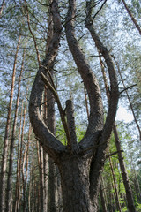 Tree in the pine forest