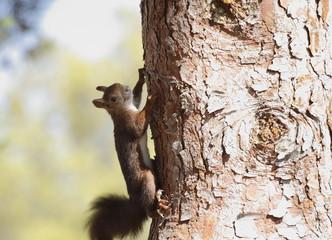 Ardilla escalando por un pino