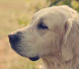 cute labrador retriever, close-up. In the soft focus.