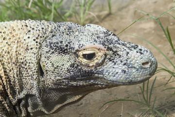 Detalle de la cabeza de un dragón de komodo