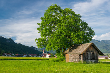 big lime tree with old wooden hut at meadow in rural village