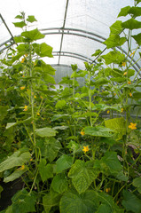 cucumbers plants growing in a greenhouse