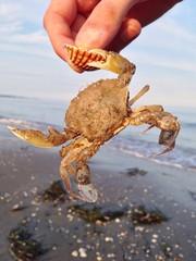 Krabbe hält Muschel mit Schere