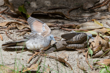Couple Zebra dove relaxing on ground