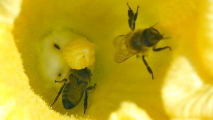bee  in  pumpkin flower
