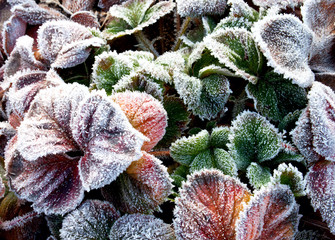 Strawberry Leaves Covered with the Frost