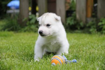 Husky puppie Nr9