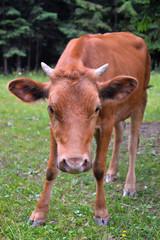 The portrait of young cow on a summer pasture, Carpathians