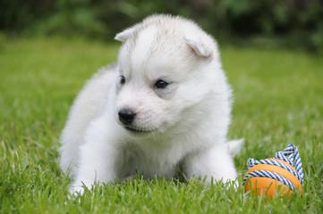 Husky puppie Nr5