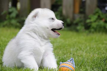 Husky puppie Nr3