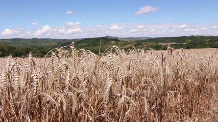 Field with ripe wheat ready for harvesting