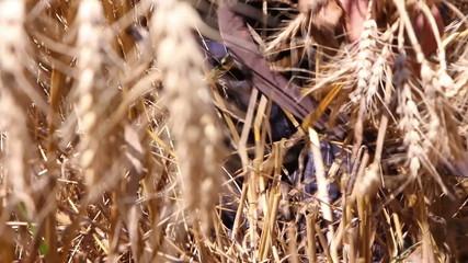 Woman harvesting ripe wheat