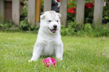 Husky puppie Nr17
