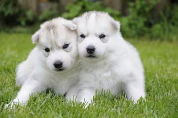 Husky puppie Nr14