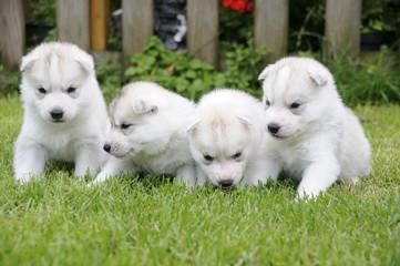 Husky puppie Nr11