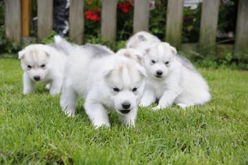 Husky puppie Nr10