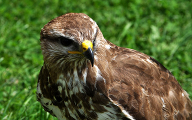 Detailed view of a bird - falcon